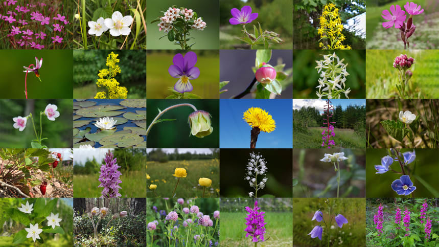 Vilken blomma blir Sveriges nationalblomma? Bild: Svenska Botaniska Föreningen